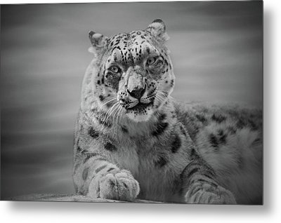 Metal Print featuring the photograph Snow Leopard  Bw by Sandy Keeton