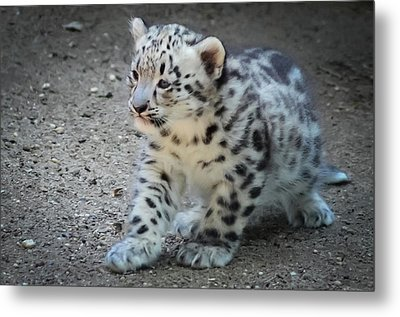 Snow Leopard Cub Metal Print by Terry DeLuco