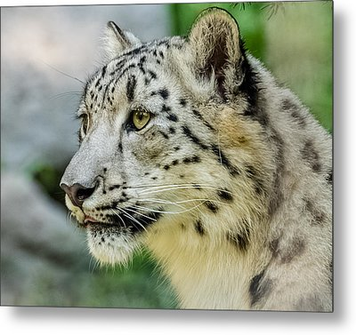 Snow Leopard Portrait Metal Print by Yeates Photography
