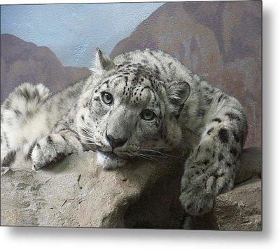 Snow Leopard Relaxing Metal Print by Ernie Echols