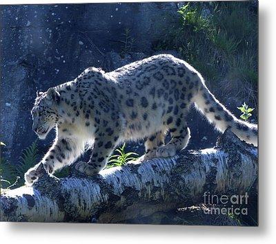 Snow Leopard Walk Metal Print