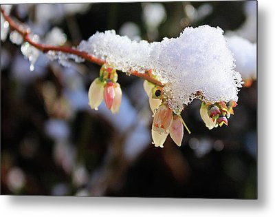 Metal Print featuring the photograph Snow On Blueberry Blossoms by Kristin Elmquist