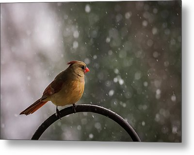 Metal Print featuring the photograph Snow Showers Female Northern Cardinal by Terry DeLuco