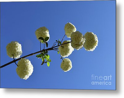 Metal Print featuring the photograph Snowballs On A Stick by Skip Willits