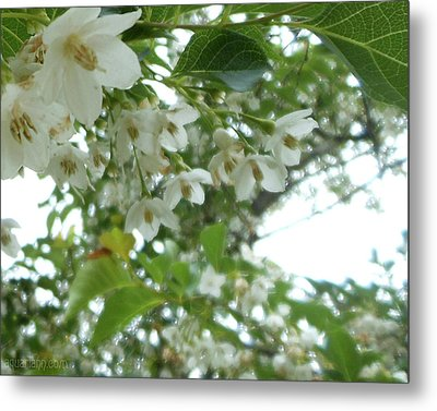Snowbell Sparkles In Spring Metal Print