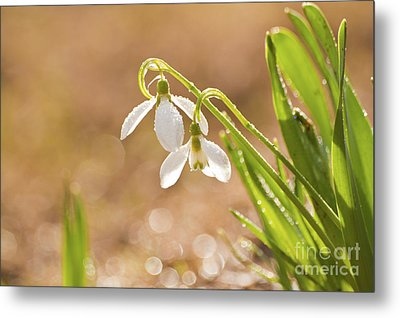 Metal Print featuring the photograph Snowbell With Dew Drops by Christine Amstutz