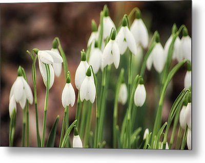 Snowdrop Metal Print by Martin Newman