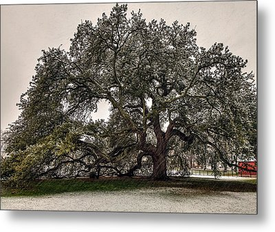 Snowfall On Emancipation Oak Tree Metal Print