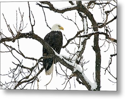 Snowy Eagle Metal Print by Dave Clark