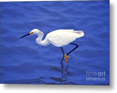 Metal Print featuring the photograph Snowy Egret 1 by Bill Holkham