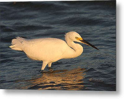 Snowy Egret By Sunset Metal Print by Christiane Schulze Art And Photography