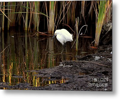 Snowy Egret In Late Afternoon Metal Print