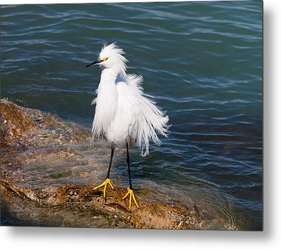 Metal Print featuring the photograph Snowy Egret by Phil Stone