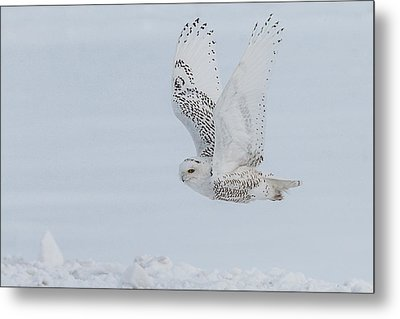 Metal Print featuring the photograph Snowy Owl #3/3 by Patti Deters
