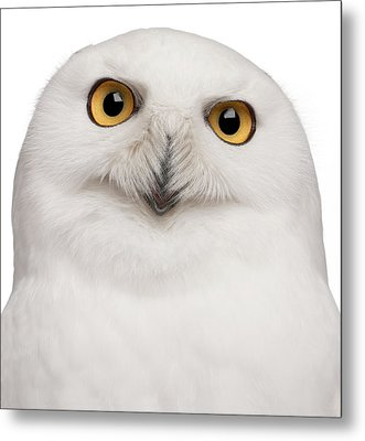 Snowy Owl -bubo Scandiacus Metal Print by Life On White