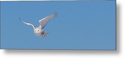 Snowy Owl - Dive Metal Print by Dan Traun