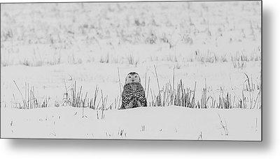 Snowy Owl In Snowy Field Metal Print