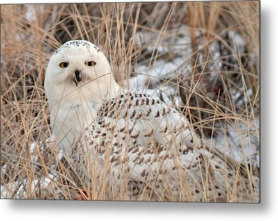 Snowy Owl Metal Print by Nancy Landry