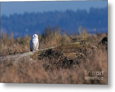 Metal Print featuring the photograph Snowy Owl On Log by Sharon Talson