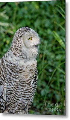 Metal Print featuring the photograph Snowy Owl by Patricia Hofmeester
