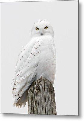 Snowy Owl Portrait Metal Print