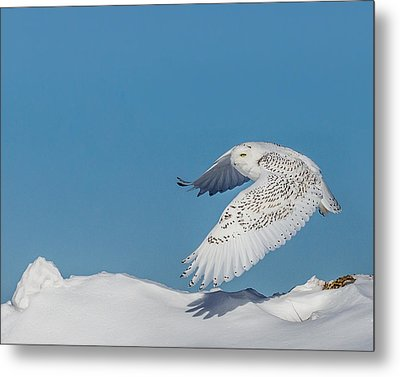 Snowy Owl - Taking Flighty Metal Print