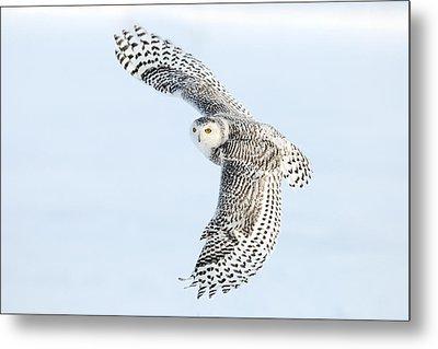 Snowy Owl Topside Metal Print by Scott  Linstead