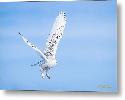 Metal Print featuring the photograph Snowy Owls Soaring by Rikk Flohr