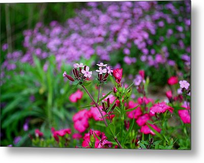Metal Print featuring the photograph Soapwort And Pinks by Kathryn Meyer
