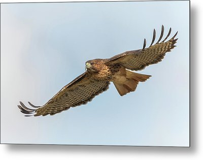 Metal Print featuring the photograph Soaring Hawk 2 by Angie Vogel