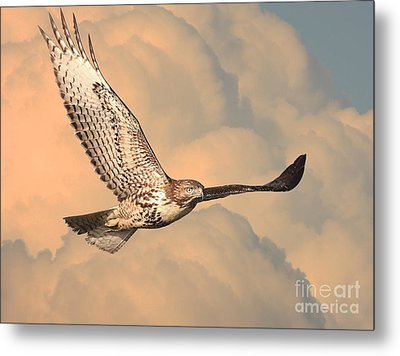 Soaring Hawk Metal Print by Wingsdomain Art and Photography