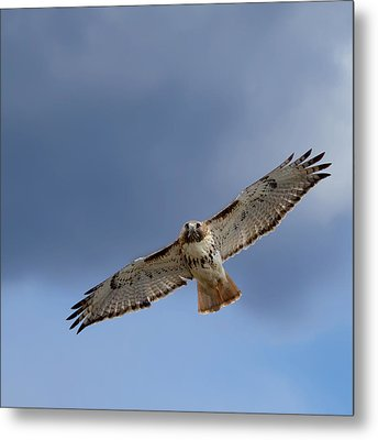 Soaring Red Tail Square Metal Print by Bill Wakeley