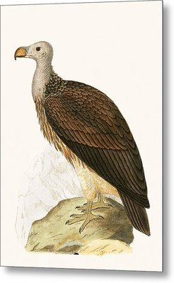 Sociable Vulture Metal Print by English School