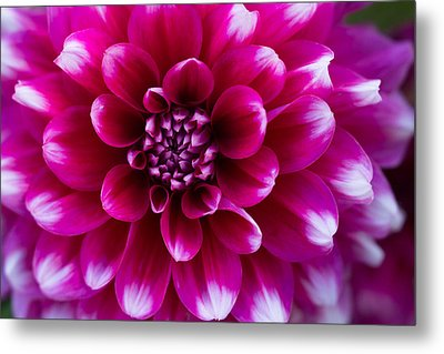 Soft Touch Dahlia Metal Print by Mary Jo Allen