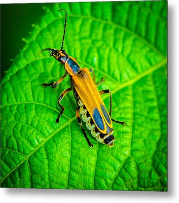 Soldier Beatle Macro Metal Print by Bruce Pritchett