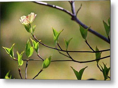 Solitary Dogwood Bloom Metal Print by Teresa Mucha