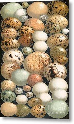 Some Favorite British Birds' Eggs Metal Print