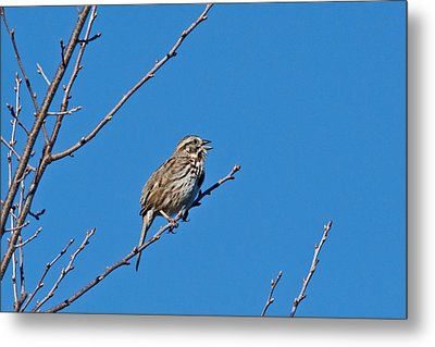 Metal Print featuring the photograph Song Sparrow by Michael Peychich