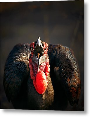 Southern Ground Hornbill Swallowing A Seed Metal Print