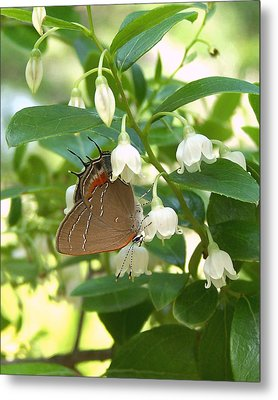 Metal Print featuring the photograph Southern Hairstreak On Sparkleberry by Peg Urban