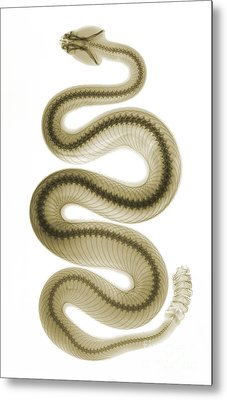 Southern Pacific Rattlesnake, X-ray Metal Print by Ted Kinsman