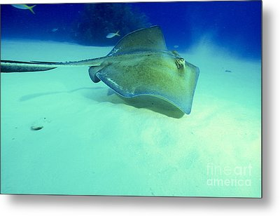Southern Sting Ray Metal Print by Gregory Ochocki and Photo Researchers