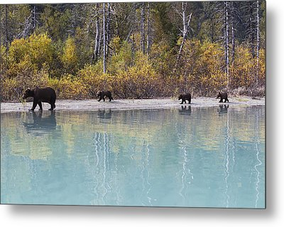 Sow Grizzly And Three Cubs Walking Metal Print