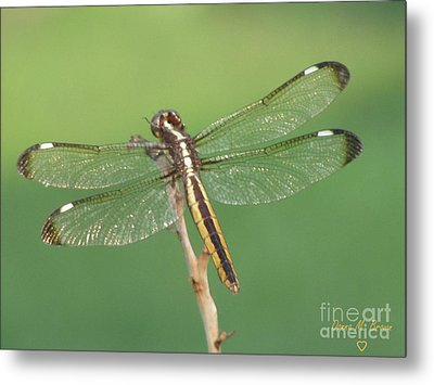 Metal Print featuring the photograph Spangled Skimmer Dragonfly Female by Donna Brown