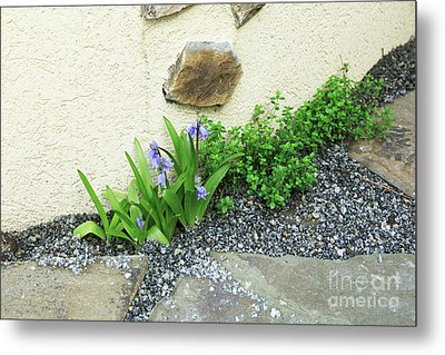 Spanish Bluebells Growing In A Gravel Path With Thyme Metal Print by Louise Heusinkveld