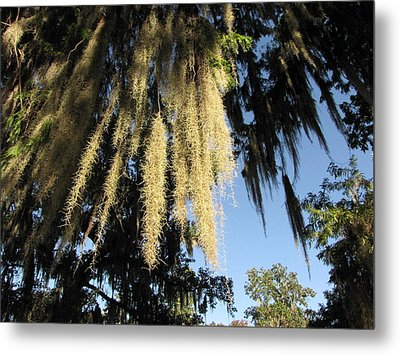 Spanish Moss Canopy Metal Print by Martha Ayotte