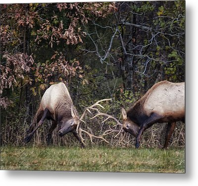 Metal Print featuring the photograph Sparring Bachelor Bulls In Boxley Valley by Michael Dougherty