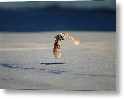 Sparrow On A Mission Metal Print by Dan Redmon