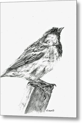 Sparrow Study Metal Print