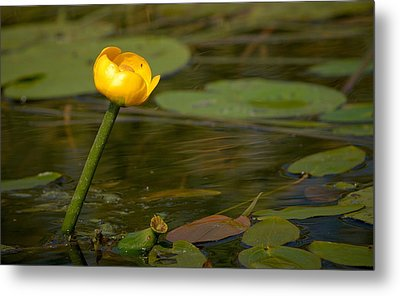 Metal Print featuring the photograph Spatterdock by Jouko Lehto